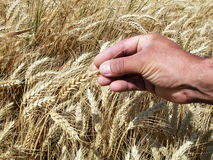Manos del hombre que sostienen los oídos del trigo imagen de archivo libre de regalías