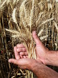 Manos del hombre que sostienen los oídos del trigo Imágenes de archivo libres de regalías
