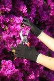 Manos del jardinero con las flores de corte de los guantes con las tijeras de podar Imagen de archivo libre de regalías