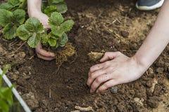Manos del jardinero que plantan la fresa Imagen de archivo libre de regalías