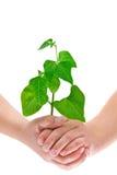 Manos del niño que sostienen la pequeña planta, aislada en blanco Imagenes de archivo