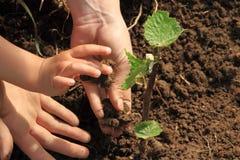Manos del niño y de la mama que plantan la vid