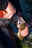 Manos del pescador con el lucio catched por la barra de giro Imagen de archivo