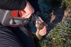Manos del pescador con el lucio catched por la barra de giro Imagen de archivo libre de regalías