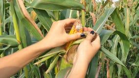 Manos del primer del granjero de las mujeres que examinan el maíz dulce para los parásitos en el campo de la granja orgánica Mazo almacen de metraje de vídeo