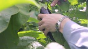 Manos del tiroteo del primer de la berenjena del corte del trabajador de mujer con las tijeras almacen de metraje de vídeo