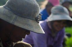 Manos del trabajador de campo del arroz que cosecha el arroz en Asia sudoriental Foto de archivo libre de regalías