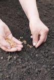 Manos del trigo de la siembra en la tierra Imagen de archivo libre de regalías