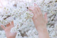 Manos femeninas con el esmalte de uñas rosado, entrelazado suavemente con las flores de cerezo blancas fotos de archivo