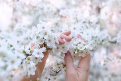 Manos femeninas con el esmalte de uñas rosado, entrelazado suavemente con las flores de cerezo blancas imagenes de archivo