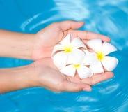 Manos femeninas con el frangipani blanco Foto de archivo libre de regalías