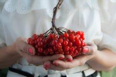 Manos femeninas con las bayas rojas del viburnum Imagen de archivo libre de regalías
