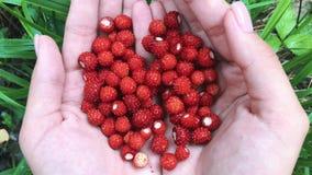 Manos femeninas jovenes con un puñado de fresas maduras Cosecha orgánica sana en el bosque del otoño almacen de metraje de vídeo