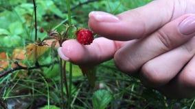 Manos femeninas jovenes con un puñado de fresas maduras Cosecha orgánica sana en el bosque del otoño almacen de video