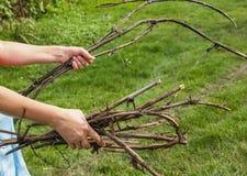 Manos femeninas, las ramas de la vid Foto de archivo libre de regalías