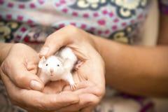 Manos femeninas que sostienen la pequeña rata imagenes de archivo