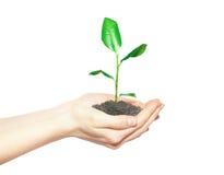 Manos humanas que sostienen la pequeña planta verde Imagen de archivo libre de regalías
