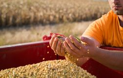 Manos jovenes de los granjeros con los granos del maíz en tractor remolque foto de archivo libre de regalías