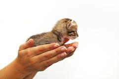 Manos que ahuecan el pequeño gatito Fotos de archivo libres de regalías