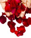 Manos que caen los pétalos color de rosa Fotos de archivo