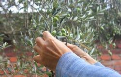 Manos que cosechan aceitunas en el árbol Fotos de archivo libres de regalías