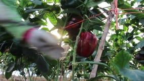 Manos que cosechan la pimienta, de la planta metrajes