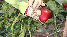 Manos que cosechan la pimienta, de la planta almacen de video