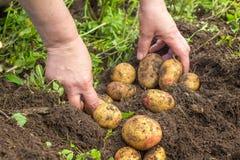 Manos que cosechan las patatas frescas del suelo Imagen de archivo libre de regalías