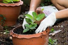 manos que crecen la planta en pote Imagenes de archivo