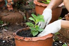 manos que crecen la planta en pote Fotos de archivo