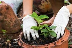 manos que crecen la planta en pote Fotografía de archivo