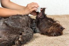 Manos que lavan el oído del perro con el remedio fotos de archivo