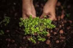Manos que plantan la planta imagen de archivo