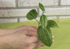 Manos que sostienen cuidadosamente una planta verde joven Protección del medio ambiente Imágenes de archivo libres de regalías