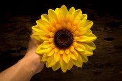 manos que sostienen el girasol amarillo oscuro noche Madera Foto de archivo libre de regalías