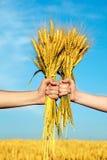 Manos que sostienen el manojo de los oídos de oro del trigo Foto de archivo libre de regalías