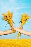Manos que sostienen el manojo de los oídos de oro del trigo Imagenes de archivo