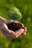 Manos que sostienen el pequeño árbol Foto de archivo libre de regalías