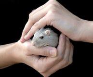 Manos que sostienen el ratón Foto de archivo