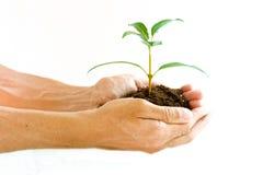 Manos que sostienen la planta de la planta de semillero Foto de archivo libre de regalías
