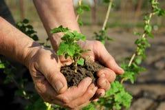 Manos que sostienen la planta de semillero Foto de archivo