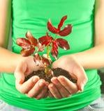 Manos que sostienen la planta de semillero crecida de suelo en su mano Fotos de archivo libres de regalías