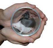 Manos que sostienen la taza con tres ratones Fotos de archivo libres de regalías