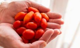 Manos que sostienen la uva roja fresca Cherry Tomatoes Foto de archivo libre de regalías