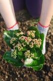 Manos que sostienen las flores Fotos de archivo libres de regalías