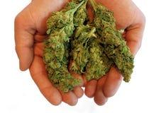 Manos que sostienen los brotes de la marijuana