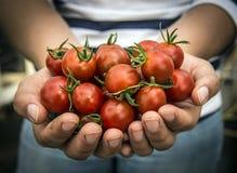 Manos que sostienen los tomates Imagen de archivo libre de regalías