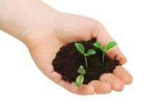 Manos que sostienen plantas de semillero Fotografía de archivo