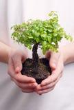 Manos que sostienen un árbol de los bonsais Fotos de archivo libres de regalías