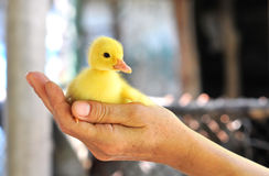Manos que sostienen un pato del bebé Fotografía de archivo